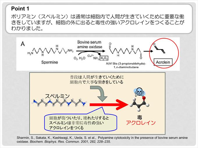 ポイント1 ポリアミン(スペルミン)は通常は細胞内で人間が生きていくために重要な働きをしていますが、細胞の外に出ると毒性の強いアクロレインをつくることがわかりました。スペルミンとアクロレイン 毒の図。普段は人間が生きていくために細胞内で大事な働きをしている。細胞が傷ついたり、壊れたりするとスペルミンは非常に毒性の強いアクロレインをつくる。
