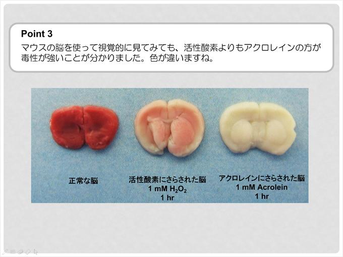 ポイント3 マウスの脳を使って視覚的に見てみても、活性酸素よりアクロレインの方が毒性が強いことがわかりました。色が違いますね。